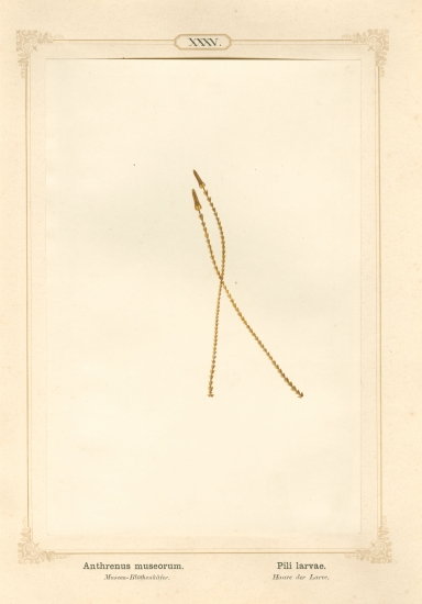 "Ernst HEEGER (Austrian, 1783-1866) ""Anthrenus museorum. Pili larvae."" (Two posterior hairs from larva of museum beetle), 1861 Hand colored salt print from a glass negative 20.3 x 13.4 cm mounted on 26.0 x 18.5 cm sheet"