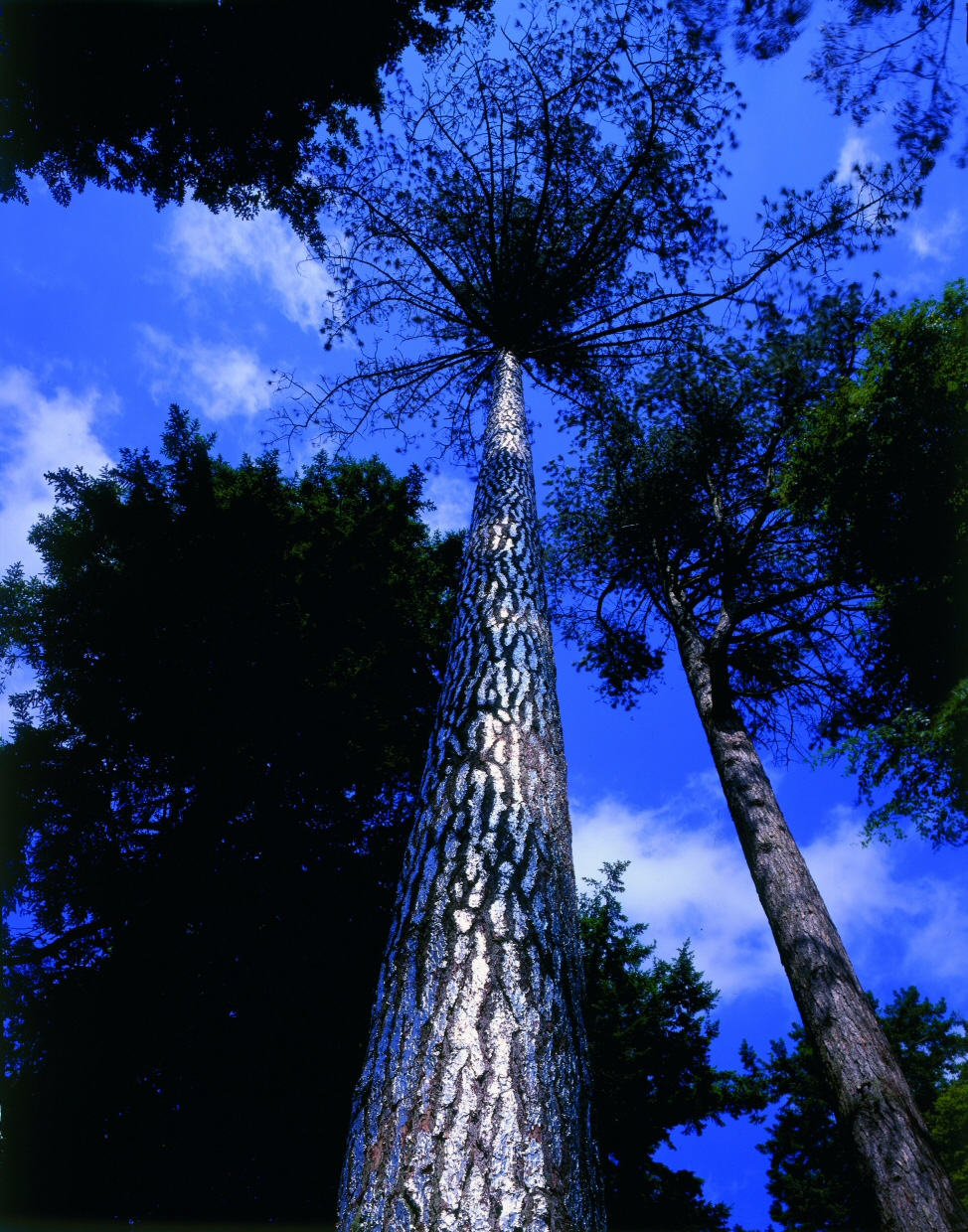 Begin again to the summoning birds, 2005, Silver-leafed pine tree