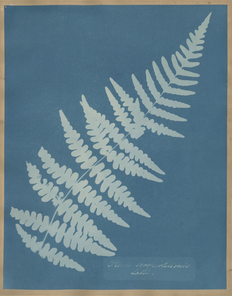 """Anna ATKINS (English, 1799-1871) """"Pteris Verspertilionis Labil"""", circa 1851-1854 Cyanotype photogram 25.7 x 20.2 cm mounted on 37.4 x 23.4 cm album page Handwritten title within the plate. """"18"""" in pencil on mount verso."""