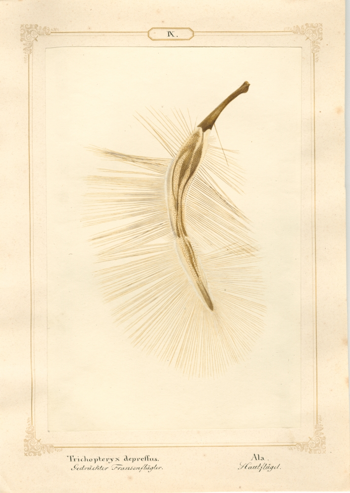 """Ernst HEEGER (Austrian, 1783-1866) """"Trichopteryx depressus. Ala."""" Acrotrichis matthewsiana. (Plumose hindwing of flattened featherwing beetle), 1860 Hand colored salt print from a glass negative 20.3 x 13.5 cm mounted on 26.0 x 18.5 cm sheet  Numbered and titled in Latin and German in ink on mount"""