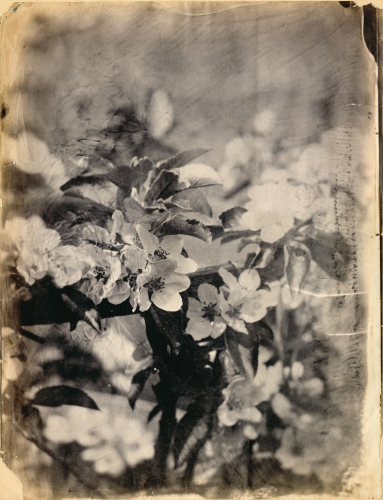 """Unidentified photographer attributed to the Circle of Charles Simart Apple blossoms (detail), Folio 6 recto*, from the album assembled circa 1856-1860 Salt print from an enlarged collodion negative 43.9 x 33.3 cm Inscribed """"Chicago 215"""" and """"Chic 215"""" by André Jammes in pencil on mount"""
