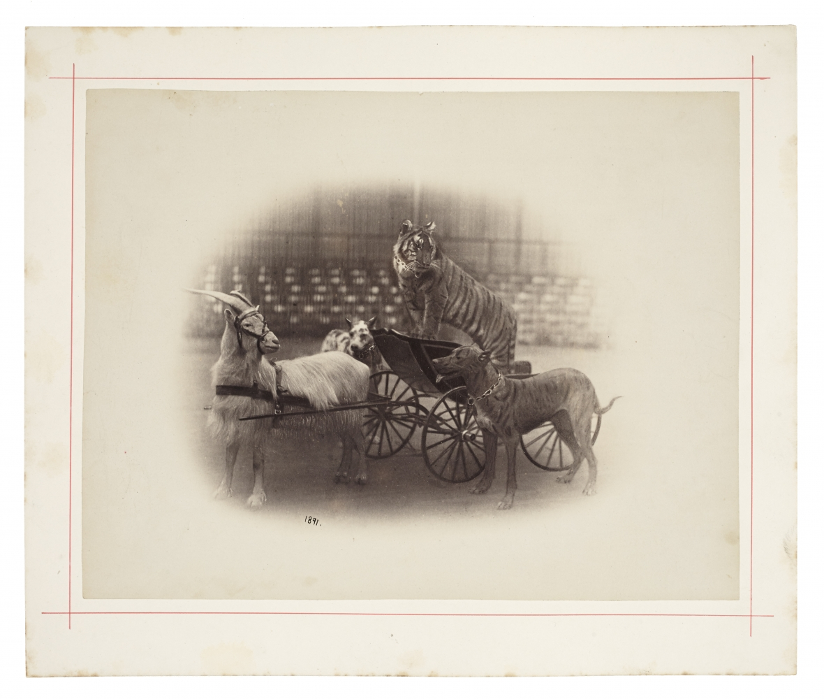 """Peter NISSEN (German) Circus animals, goat pulling a tiger in a cart, with two dogs from """"Carl Hagenbeck's Zoologischer Circus"""", 1891 Albumen print 22.3 x 28.7 cm mounted on 28.4 x 33.8 cm card, ruled in red Dated """"1891"""" in the negative, and photographer's blindstamp. Stamped """"Photographiesches-Atelier von Peter Nissen, Reeperbahn 28 Hamburg, St. Pauli"""" in ink on verso."""