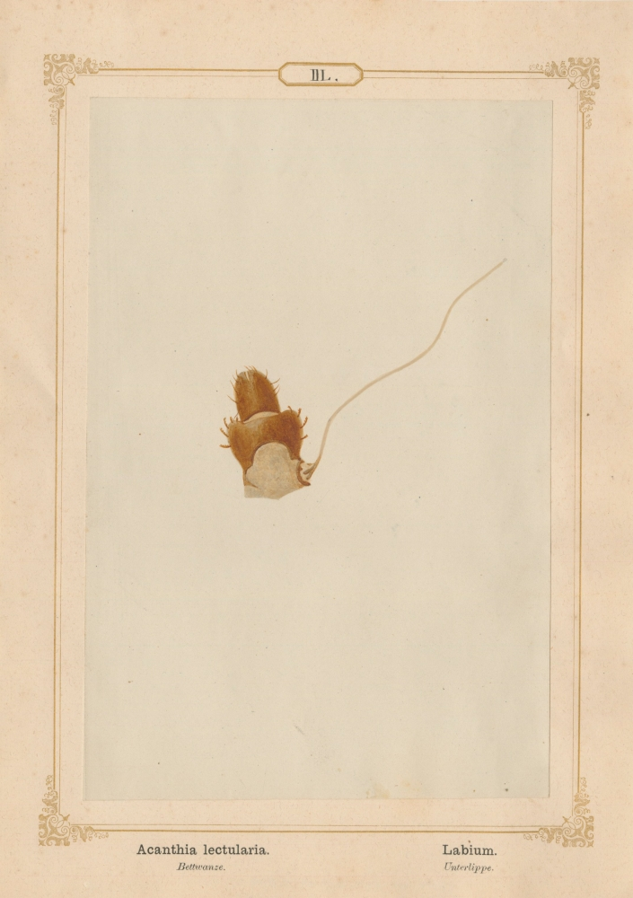 """Ernst HEEGER (Austrian, 1783-1866) """"Acanthia lectularia. Labium."""" Cimex lectularis. (Lower lip and suction tubes of mouthparts of bed bug), 1861 Hand colored salt print from a glass negative 20.2 x 13.3 cm mounted on 26.0 x 18.5 cm sheet  Numbered in ink with printed titles in Latin and German on mount"""