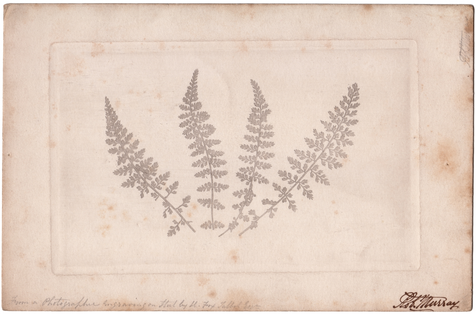 """William Henry Fox TALBOT (English, 1800-1877) Four ferns, 1852 or soon after Photographic engraving 12.8 x 20.3 cm plate on 17.0 x 25.9 cm paper Inscribed """"Rob. Murray"""" in ink and """"From a Photographic Engraving on Steel by H. Fox Talbot Esqr"""" in pencil"""