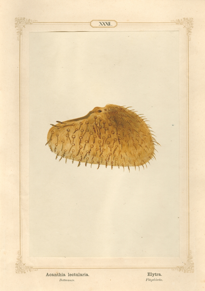 """Ernst HEEGER (Austrian, 1783-1866) """"Acanthia lectularia. Elytra."""" Cimex lectularis. (Wing cover of bed bug), 1861 Hand colored salt print from a glass negative 20.2 x 13.4 cm mounted on 26.0 x 18.5 cm sheet  Numbered in ink with printed titles in Latin and German on mount"""