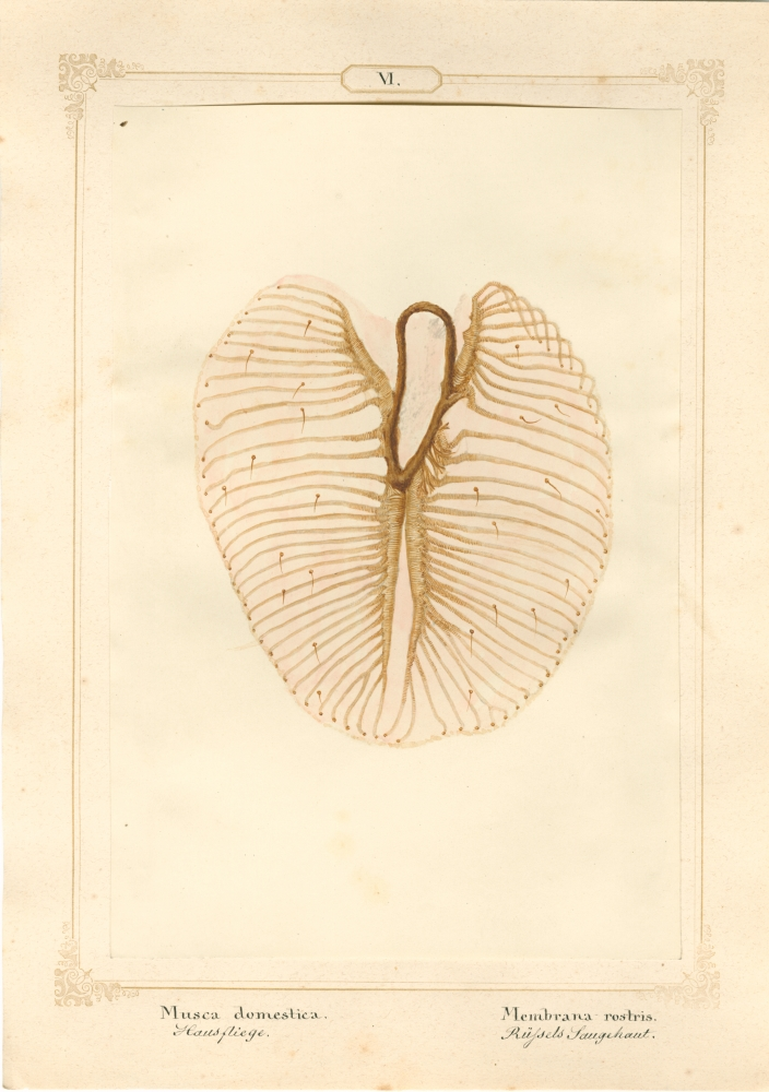 """Ernst HEEGER (Austrian, 1783-1866) """"Musca domestica. Membrana rostris."""" (Membrane of suction lobe of rostrum of house fly), 1860 Hand colored salt print from a glass negative 20.3 x 13.6 cm mounted on 26.0 x 18.5 cm sheet  Numbered and titled in Latin and German in ink on mount"""