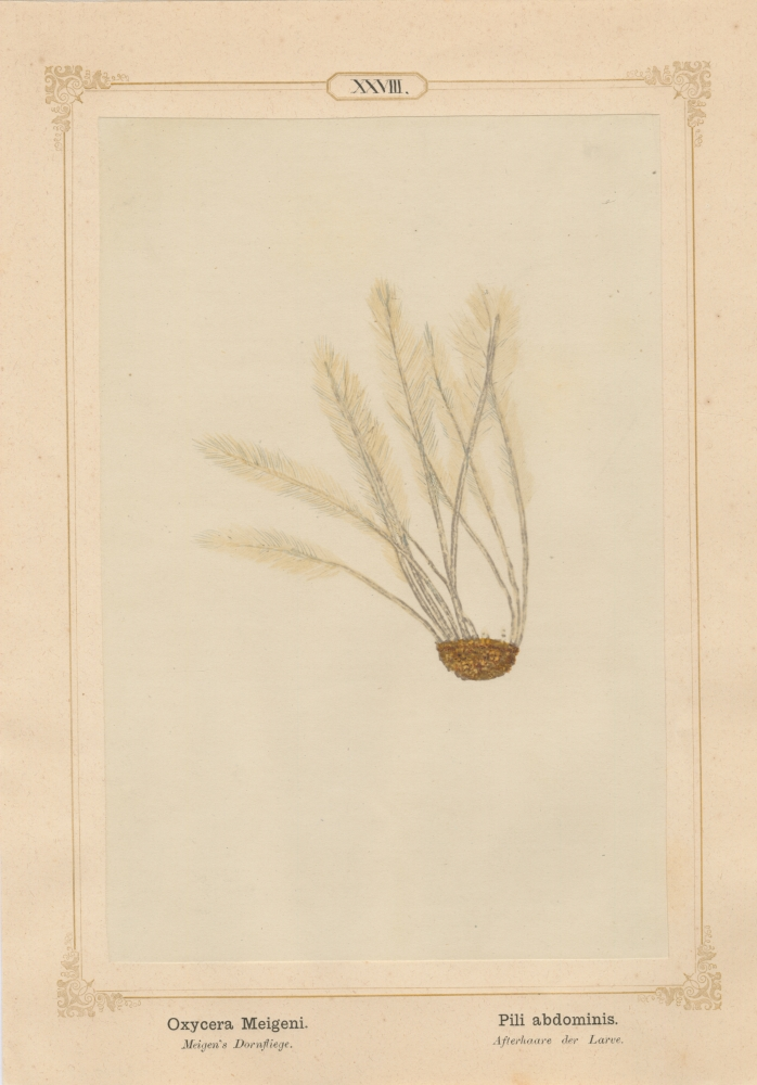 """Ernst HEEGER (Austrian, 1783-1866) """"Oxycera Meigeni. Pili abdominis."""" (Feather-like brush of hairs at posterior end of abdomen of larva of Meigen's soldier fly), 1861 Hand colored salt print from a glass negative 20.3 x 13.4 cm mounted on 26.0 x 18.5 cm sheet  Numbered in ink with printed titles in Latin and German on mount"""
