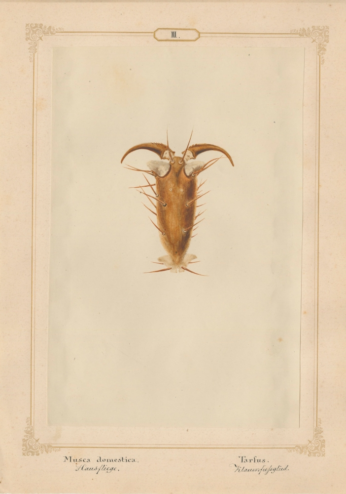 """Ernst HEEGER (Austrian, 1783-1866) """"Musca Domestica. Tarfus."""" (Foot of house fly), 1860 Hand colored salt print from a glass negative 20.0 x 13.3 cm mounted on 26.0 x 18.5 cm sheet  Numbered and titled in Latin and German in ink on mount"""