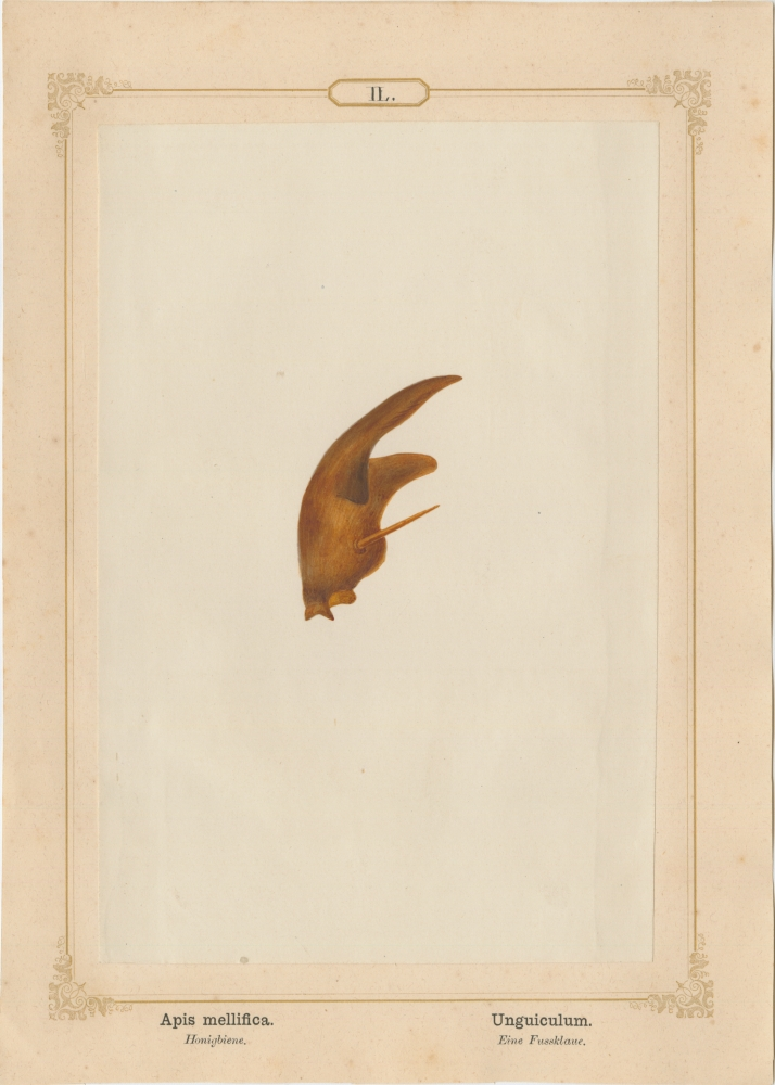 """Ernst HEEGER (Austrian, 1783-1866) """"Apis mellifica. Unguiculum."""" Apis mellifera. (Foot claw of honey bee), 1861 Hand colored salt print from a glass negative 20.2 x 13.4 cm mounted on 26.0 x 18.5 cm sheet  Numbered in ink with printed titles in Latin and German on mount"""