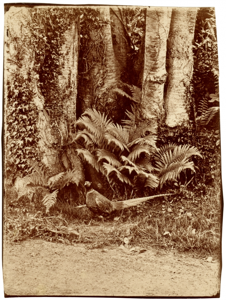 John Dillwyn LLEWELYN (Welsh, 1810-1882) Pheasant and ferns, Penllergare, early 1850s Albumen print from a glass negative 21.4 x 16.2 cm on 21.7 x 16.5 cm paper, irregularly trimmed