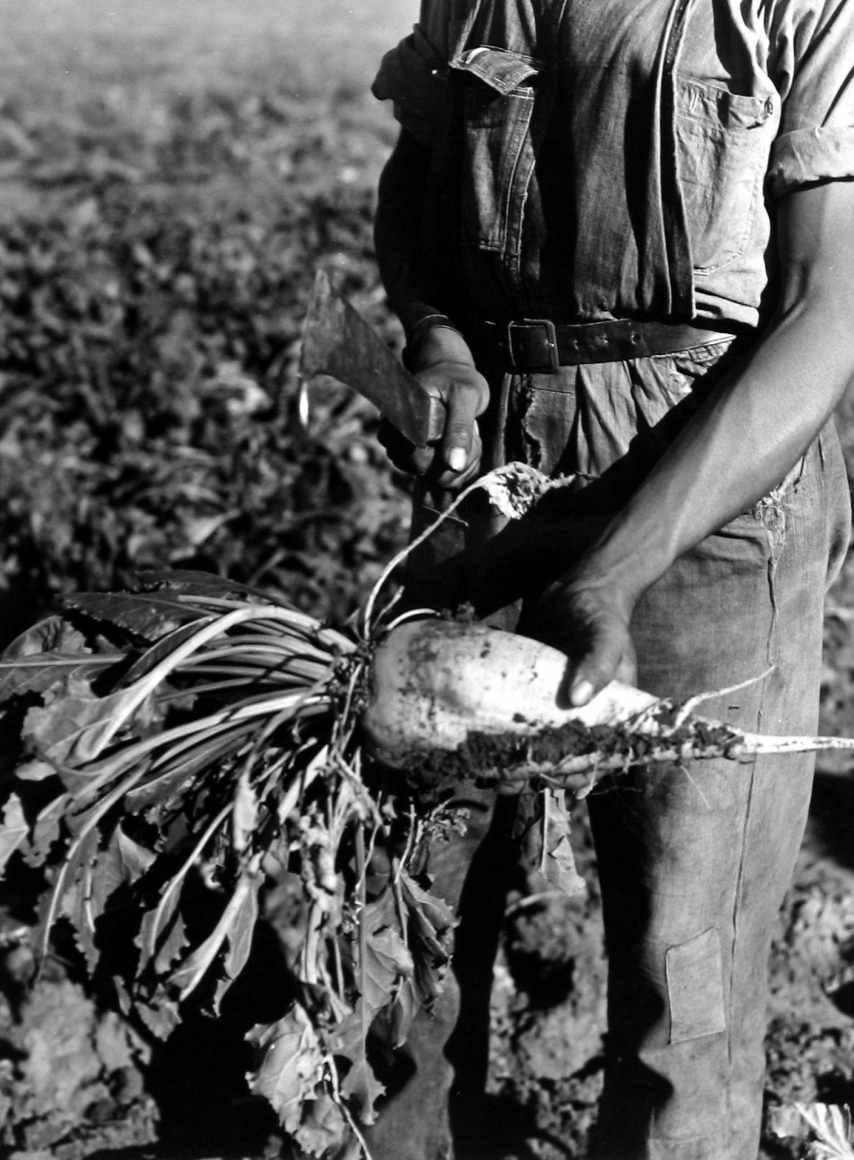 Arthur Rothstein  Sugar Beet before Topping, Adams County, Colorado, 1939 Gelatin silver print; printed c.1939 9 1/2 x 7 3/8 inches, Howard Greenberg gallery, 2020
