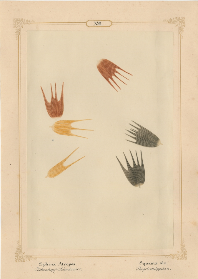 "Ernst HEEGER (Austrian, 1783-1866) ""Haemerobius hirtus. Ala (anter:)"" (Forewing of brown, shaggy lacewing), 1860 Hand colored salt print from a glass negative 20.6 x 13.7 cm mounted on 26.0 x 18.5 cm sheet  Numbered and titled in Latin and German in ink on mount"