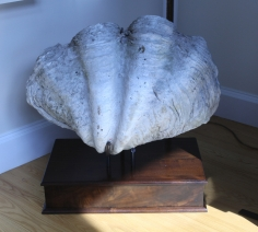 Rare Giant Clam Shell circa 1930