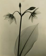 Dr. Dain L. Tasker - Amazon Lily, 1930 - Howard Greenberg Gallery
