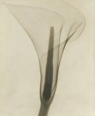 Dr. Dain L. Tasker - X-ray of a Lily, 1930 - Howard Greenberg Gallery
