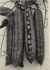 Charles Jones - Pea Quite Content, c.1900 - Howard Greenberg Gallery