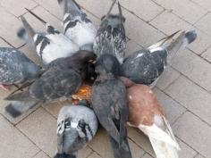 Karen Kilimnik, Pigeons practicing for their Esther Williams water ballet in Rittenhouse Square