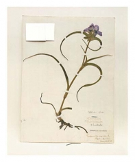 Spiderwort, Kansas, 1898, from the series Specimens, 2000, 24 x 20 or 34 x 26 inch Iris print