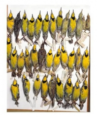 """Terry Evans, """"Field Museum, Drawer of eastern Meadowlarks, various dates and locations,"""" 2001, Iris print, 34 1/4 x 26 1/4 inches, Edition of 5"""