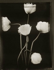 Poppies (403), 1997, 20 x 24 inch Toned Silver Print, Signed and dated recto. signed, dated, titled editioned on verso, Edition of 25