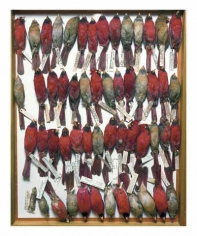 Drawer of northern cardinals, various dates and locations, from the series Specimens, 2001, 24 x 20 or 34 x 26 inch Iris print