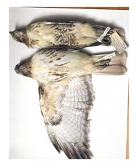 Red-tailed hawks, Wisconsin, 1987; Nebraska, 1926, from the series Specimens, 2001, 24 x 20 or 34 x 26 inch Iris print