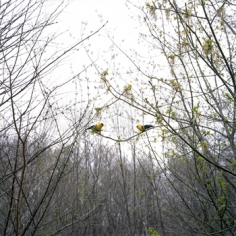 """Paula McCartney, """"American Goldfinches,"""" 2008, 20 x 28 inches, Edition of 7"""