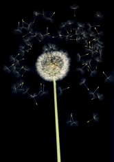 Flowers #6, Untitled (Puste/Dandelion), 2010, 10x 7 inch chromogenicprint