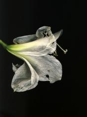 Flowers #3, Untitled (Amarili Old), 2009,10x 7 inch chromogenic print