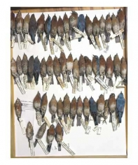 Drawer of bluebirds, various dates and locations, from the series Specimens, 2001, 24 x 20 or 34 x 26 inch Iris print