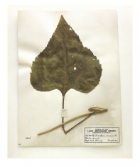 Common sunflower (leaf), Illinois, 1899, from the series Specimens, 2000, 24 x 20 or 34 x 26 inch Iris print