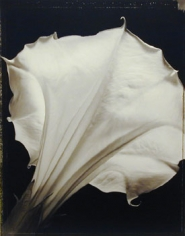 Datura (540), 1998, 20 x 24 inch Toned Silver Print, Signed and dated recto. signed, dated, titled editioned on verso, Edition of 25