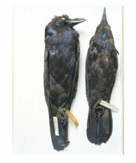 Ravens, Wyoming, 1871; Oklahoma, 1964, from the series Specimens, 2000, 24 x 20 or 34 x 26 inch Iris print