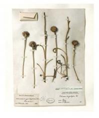 Field Museum, Echinacea Angustifolia, North Dakota, 1899, Iris Print