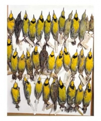 Drawer of eastern meadowlarks, various dates and locations, from the series Specimens, 2001, 24 x 20 or 34 x 26 inch Iris print
