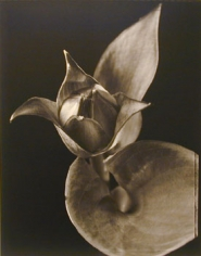 Hosta (#3), 1998, 20 x 24 inch Toned Silver Print, Signed and dated recto. signed, dated, titled editioned on verso, Edition of 25