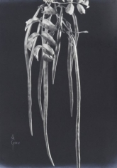 Anatole Saderman Pondranea Ricasoliana, Fruit, ca. 1934