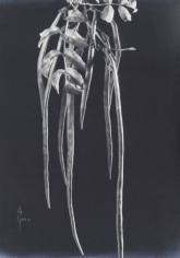 Anatole Saderman Pondranea Ricasoliana, Fruit, ca. 1934