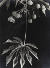 Anatole Saderman Manihot Grahamii Hardy Tapioca, Fruits and Leaves, 1934
