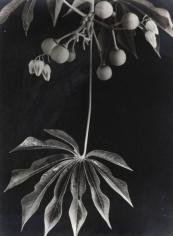 Anatole Saderman Manihot Grahamii Hardy Tapioca, Fruits and Leaves, 1934