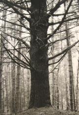 Pine 1993 gelatin-silver print
