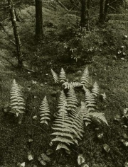 Maine (Ferns) 1955