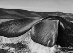 Southern Right Whale, Valdés Peninsula, Argentina, 2004, gelatin silver print, 36 x 50 inches/91.4 x 127 cm