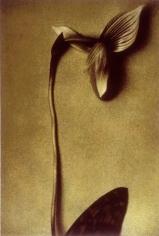Cymbidium Three, 1998, 19-1/4 x 13 Fresson Print, Ed. 15