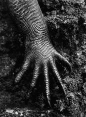 Marine Iguana, Genesis 2004, 20 x 16 inches, Silver Gelatin Photograph