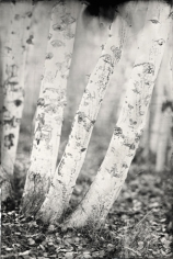 Aspens, Unique Collodion Wet Plate: please contact the gallery for details
