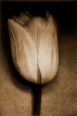 Tulip, 1997, 30-5/8 x 22 Fresson Print, Ed. 15