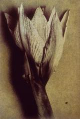 Amaryllis Back Three, 1998, 19-1/4 x 13 Fresson Print, Ed. 15