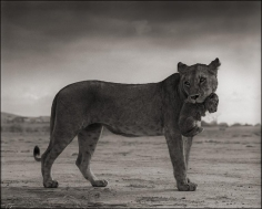 nick brandt lioness holding cub in mouth amboseli
