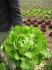 Eberhard holding Butterhead Lettuce in field